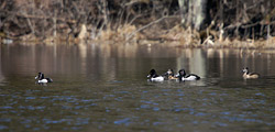 Ring-necked Ducks along Lake Shore Drive