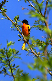 Northern Oriole in Tree