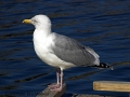Herring Gull-1.jpg