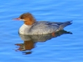 common merganser.jpg