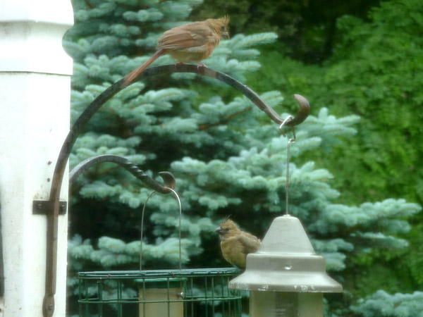 Two Cardinal fledgelings at the feeder