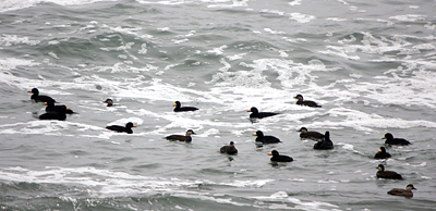 A raft of Black Scoters along Marginal Way in Ogunquit
