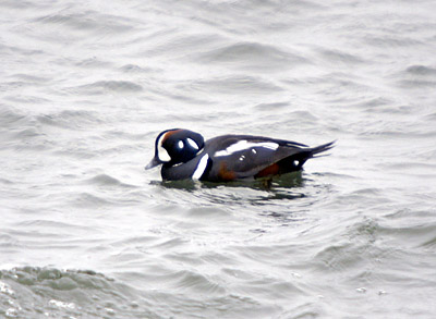 Male Harlequin duck at Nubble Light