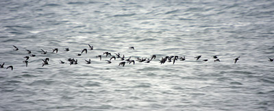 A flock of Purple Sindpipers flying across the water at Nubble Light