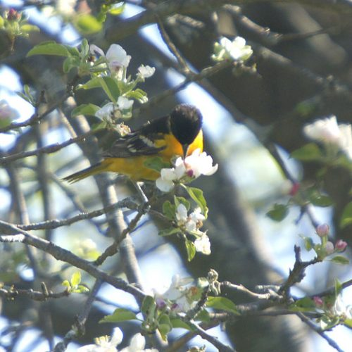 Northern Oriole on apple blossoms